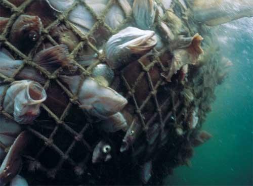Las diez especies de peces m s amenazados por la pesca for Especies de peces