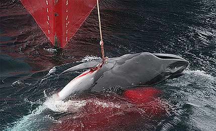caza-ballenas