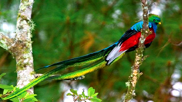 A neotropical bird hailing from the untamed rainforests.