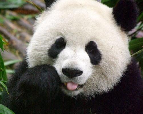 29099-panda-4-crop