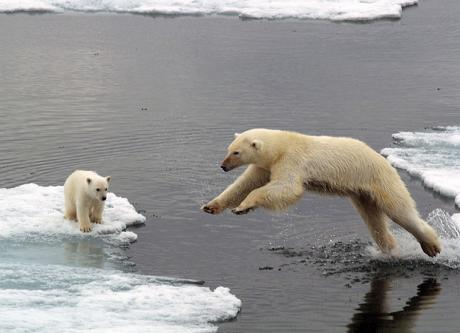 polar-bears_1425387c