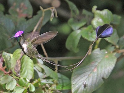 marvelousspatuletail