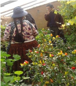 Arbusto de locotos en carpa solar en Chinchaya