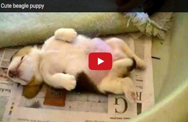 Beagle-puppy-sleeping
