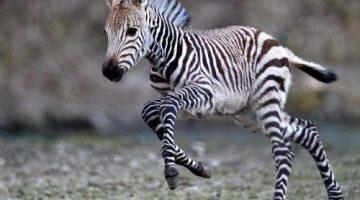 cebra-extincion