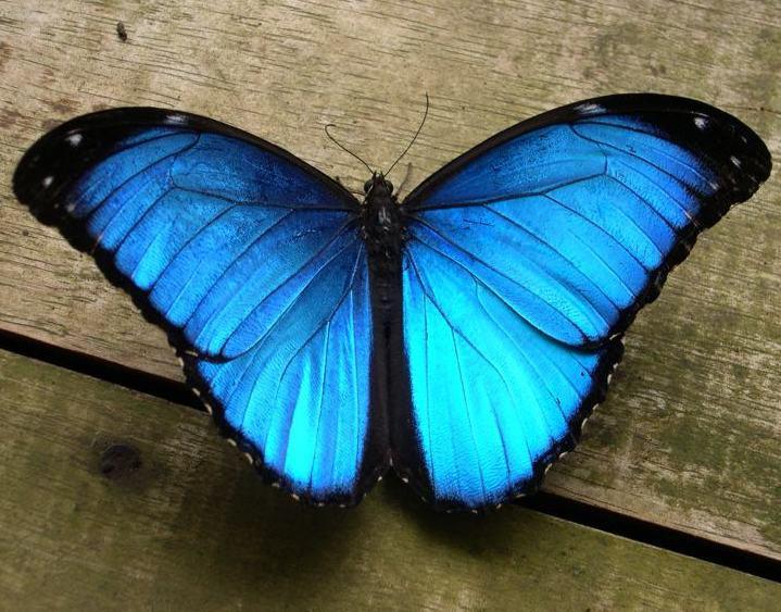 La Mariposa Mofo Azul Americana Otro Mundo Es Posible
