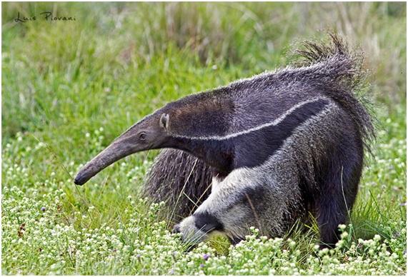 oso hormiguero gigante