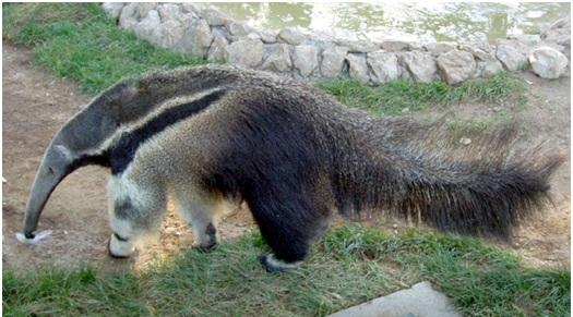 oso hormiguero gigante3