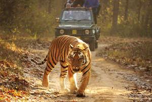 """Mientras los pueblos indígenas han sido expulsados ilegalmente de la Reserva de Tigres de Kanha, hogar de """"El libro de la selva"""", los turistas son bienvenidos a ella. © Survival"""