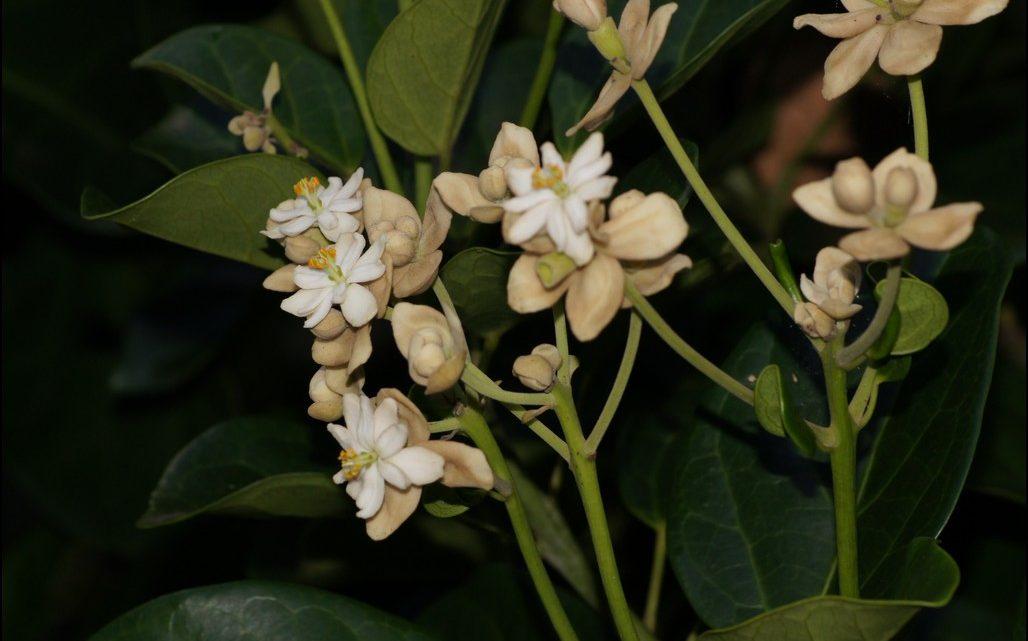Hernandia, nombre de un género botánico puesto en honor a F. Hernández